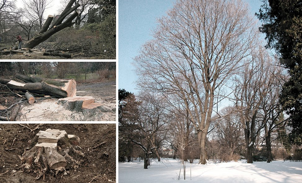 felling of norway maple | photos